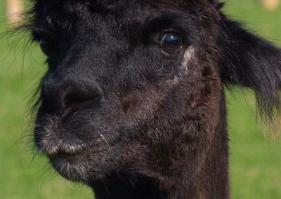A black alpaca at Mesmear