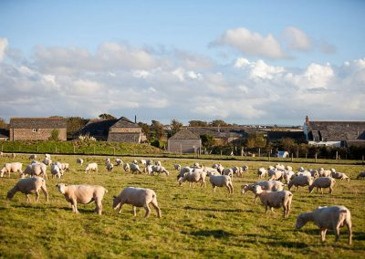 A field of sheep at Mesmear farm and self catering holiday accommodation Polzeath Cornwall