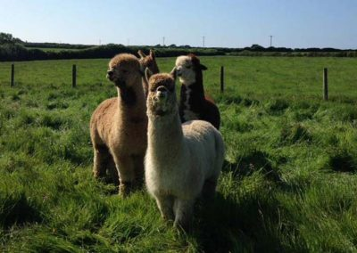 The alpacas at Mesmear