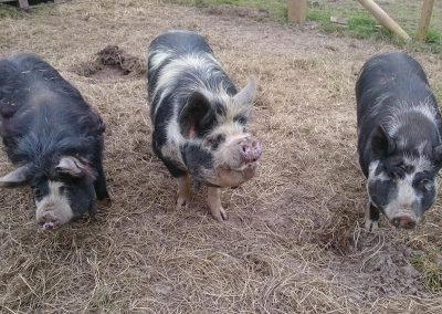 The pigs at Mesmear farm and self catering accommodation Polzeath Cornwall.